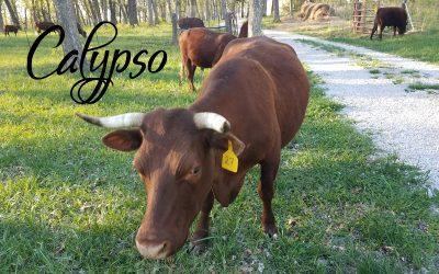 Calypso #27