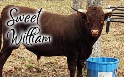 Sweet William #77